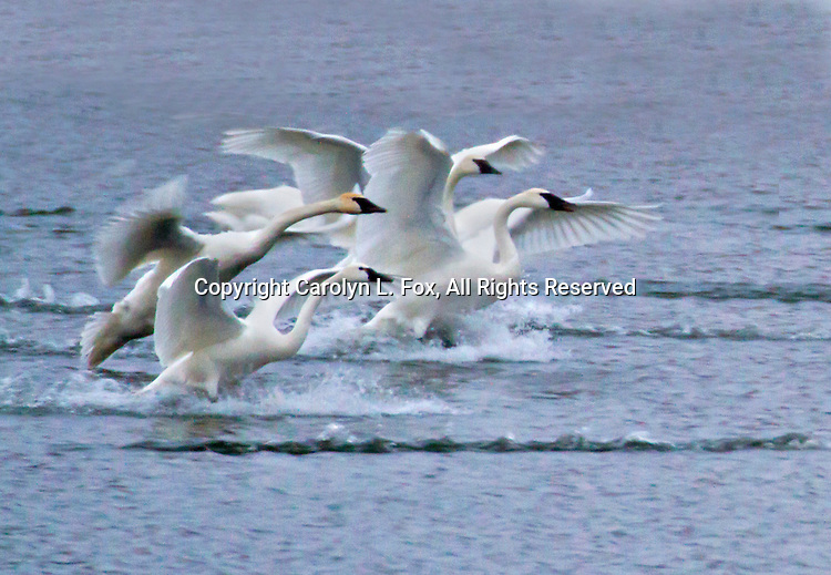 Four trumpeter swans land on Lake Remembrance in Blue Springs, Missouri.