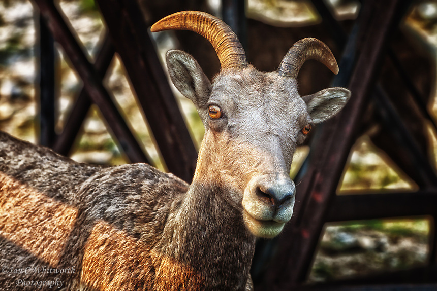 A female Bighorn Sheep stands alert by the boardwalk on the top of Sulphur Mountain Banff.