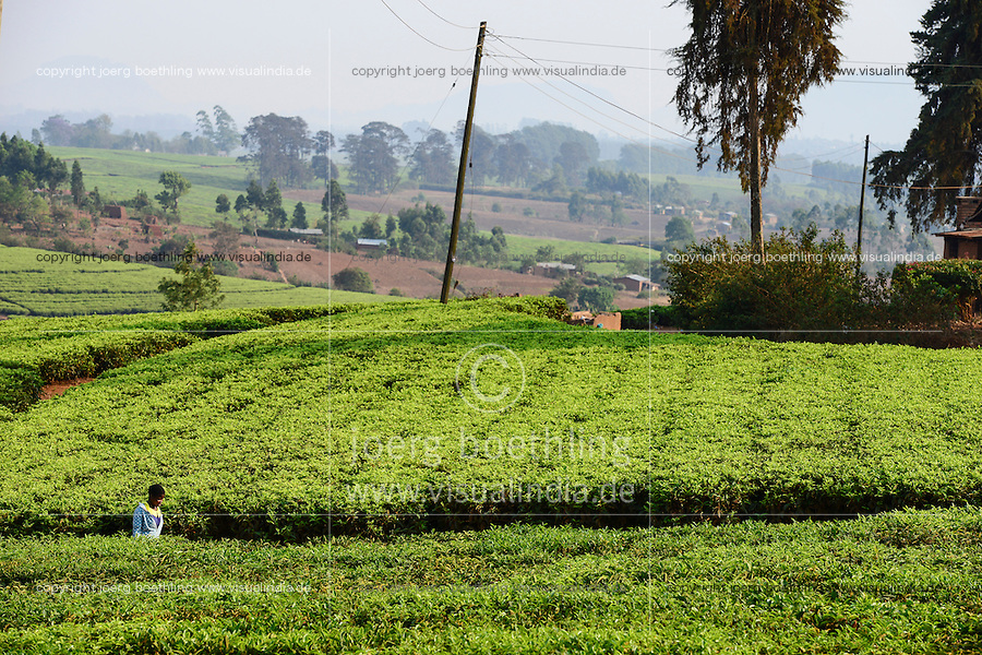 Malawi, Thyolo, Makandi Tea Estate, a fair trade tea plantation