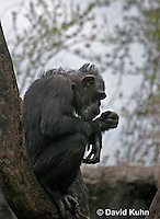 0209-08rr  Silhouetted Chimpanzee, Pan troglodytes © David Kuhn/Dwight Kuhn Photography