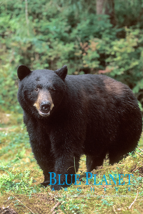 black bear, Ursus americanus, in Anan Creek, Tongass National Forest, southeast Alaska