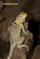 1R17-525z  Collared Lizard, Male, Crotaphytus collaris