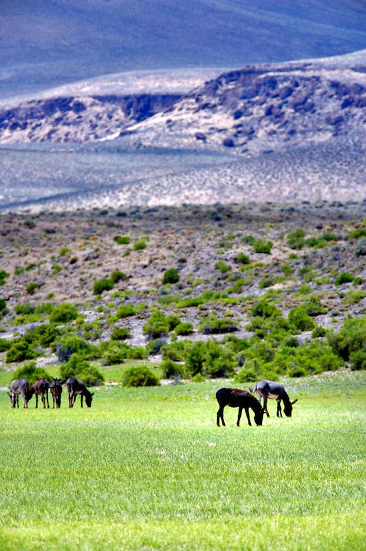 Wild burros. Near Dinio,nevada