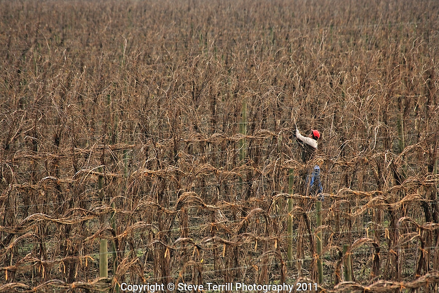 Wrapping raspberry vines in Cowlitz County, Oregon