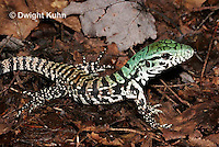 1R20-508z  Argentine Black and White Tegu, Newly born 1 week old juvenile, Tupinambis merianae