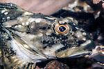Longhorn Sculpin close-up of head and gills, Myoxocephalus octodecemspinosus, North Atlantic
