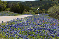 Texas Bluebonnets surround the highway along Lake Buchanan