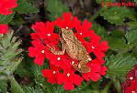 0808-0912  Spring Peeper Frog Climbing on Red Flowers, Pseudacris crucifer (formerly: Hyla crucifer)  © David Kuhn/Dwight Kuhn Photography