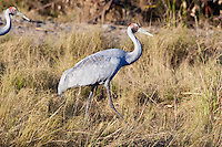 Brolga, near Karumba, Queensland, Australia