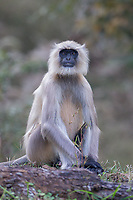 Semnopithecus hypoleucos<br /> <br /> The black footed grey langur is a species of langur found in the Indian sub continent.