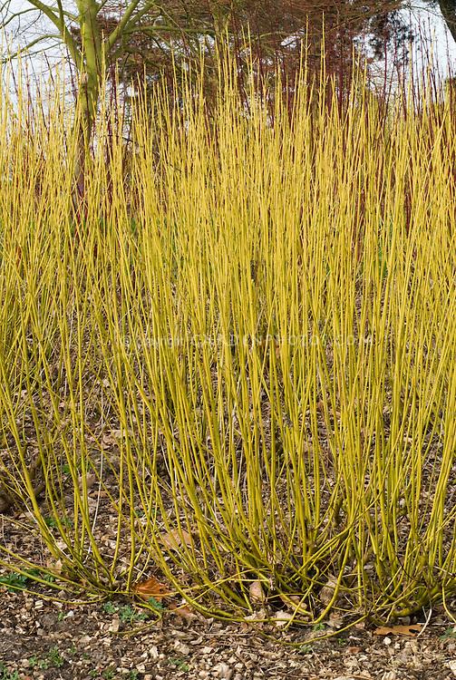 Cornus sericaea aka stolonifera 'Flaviramea' winter stems