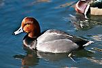 Redhead duck male swimming