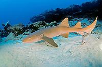 nurse shark, Ginglymostoma cirratum, Key Largo, Florida Keys National Marine Sanctuary, Florida, USA, Atlantic Ocean