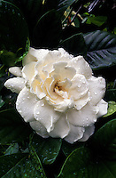 A beautiful white gardenia blossom with water droplets on the petals surrounded by rich green leaves