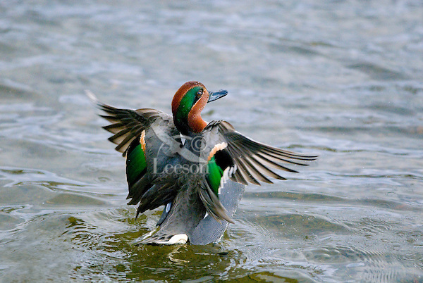 Green-winged Teal (Anas crecca) drake drying wings.  Pacific Northwest. Winter. The green-winged teal is one of North America's smallest ducks, weighing around 12 ounces.  It has a wingspan of 23 inches and an overall length of 14 inches.