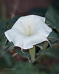 Sacred Datura or Jimson Weed, near Sedona, Arizona