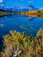 749450310 aspens populus tremuloides in brilliant yellow line the banks of the snake river with mount moran and the teton range in the background all reflected in the snake river at oxbow bend on a tranquil autumn morning in grand tetons national park wyoming