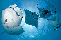 reef manta ray, Manta alfredi, feeding plankton at Hanifaru Bay, Baa Atoll, Maldives, Indian Ocean