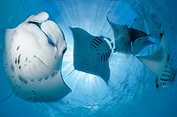 reef manta ray, Mobula alfredi, feeding plankton at Hanifaru Bay, Baa Atoll, Maldives, Indian Ocean