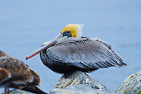 Brown Pelicans in winter at Moss Landing.