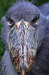 Shoebill (Vulnerable)<br /> East Africa