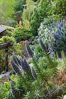 Echium candicans, Pride of Madeira perennial subshrub flowering in Diana Magor's backyard California steep hillside garden