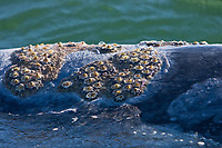 Close up view of the skin of an adult California Gray whale (Eschrichtius robustus) in San Ignacio Lagoon showing the barnacles (Cryptolepas rhachianecti) and whale lice (Cyamus scammonii) on this individual , Pacific Ocean side of the Baja Peninsula, Baja California Sur, Mexico. This species of barnacle and lice live only on the body of California gray whales (Eschrichtius robustus). Each winter thousands of California gray whales migrate from the Bering and Chukchi seas to breed and calf in the warm water lagoons of Baja California. San Ignacio lagoon is the smallest of the three major such lagoons. Current (2008) population estimates put the California Gray wha at between 20,000 and 24,000 animals.