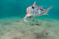 Australian ghostshark, elephant fish, or plownose chimaera female, Callorhinchus milii, normally lives in deep water, but comes into shallows in summer to breed, Victoria, Australia