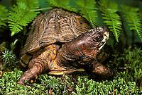 1R40-060x  Eastern Box Turtle - Terrapene carolina