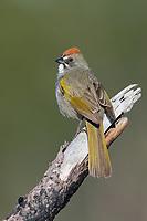 Green-tailed Towhee (Pipilo chlorurus). Deschutes County, Oregon. May.