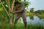 Fishing Cat (Prionailurus viverrinus) biologist, Maduranga Ranaweera, setting up camera trap in urban wetland, Urban Fishing Cat Project, Diyasaru Park, Colombo, Sri Lanka