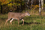 Spike buck stomping his foot in an autumn field.