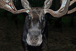 Bull moose cloase-up of face, mouth and eyes looking at camea.