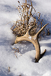 White-tailed deer (Odocoileus virginianus) antler shed in the snow.  Winter, WI.