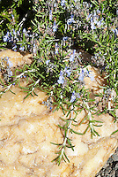 Rosmarinus officinalis Huntington Carpet in bloom Rosemary herb, prostrata creeping form butterfly or moth