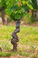 An old merlot vine with a funny wavy shape Chateau Bouscaut Cru Classe Cadaujac Graves Pessac Leognan Bordeaux Gironde Aquitaine France