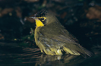 Kentucky Warbler, Oporornis formosus, male bathing, High Island, Texas, USA, April 2001