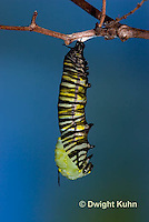 MO06-535z  Monarch forming a Chrysalis - Danaus plexipuss...