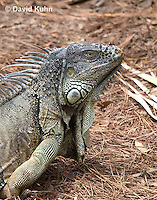 0625-1108  Male Green Iguana (Common Iguana), Belize, Iguana iguana  © David Kuhn/Dwight Kuhn Photography