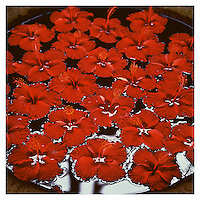 Hibiscus, Kerala, India 2001