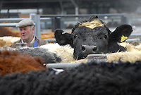 Cattle waiting to go into the sale ring at Welshpool's old market.