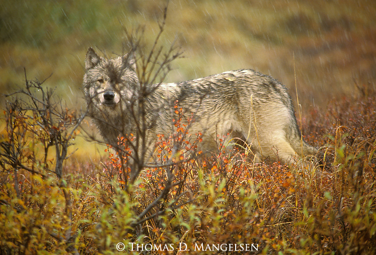 A wolf stands in the rain in Denali National Park.