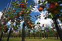 """09/09/16<br /> <br /> Stanislav Ruskova 30 picks and inspects the Red Windsor apples.<br /> <br /> This year's Red Windsor apples are redder than ever thanks to perfect growing conditions. <br /> <br /> Ali Capper from Stocks Farm near Malvern, Worcestershire said: """"The lovely summer has been warm and wet when we needed it. <br /> <br /> """"The differential in temperature and mix of warm days and cool nights has been perfect for the crop here in this part of the country""""<br /> <br /> """"We lost our entire apple crop to a freak summer hailstorm last year. Thankfully this year's late spring stopped the blossom coming-on too early and reduced the chance of frost damage. And since then the conditions have been better than we could have hoped for""""<br /> <br /> The Red Windsor apple was first discovered in the village 25 years ago. The relatively new variety has a sweet and tangy flavour and will continue to ripen for a couple of months before appearing on Tesco's shelves  later this autumn.<br /> <br />   <br /> All Rights Reserved, F Stop Press Ltd. +44 (0)1773 550665"""