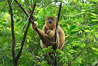 .Black-and-Gold Howler Monkey (Alouatta caraya), adult, Brazil