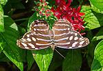 Skipper type butterfly.