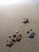 hawksbill sea turtle hatchlings, Eretmochelys imbricata, critically endangered species, crawling toward ocean, Saint Lucia, Lesser Antilles aka Caribbees, Caribean Sea, Atlantic Ocean