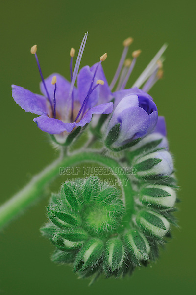 Blue curls (Phacelia congesta), blossom, Fennessey Ranch, Refugio, Coastal Bend, Texas, USA