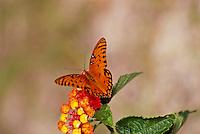 Orange Gulf Fritillary or passion butterfly, Agraulis vanillae, on lantana flower