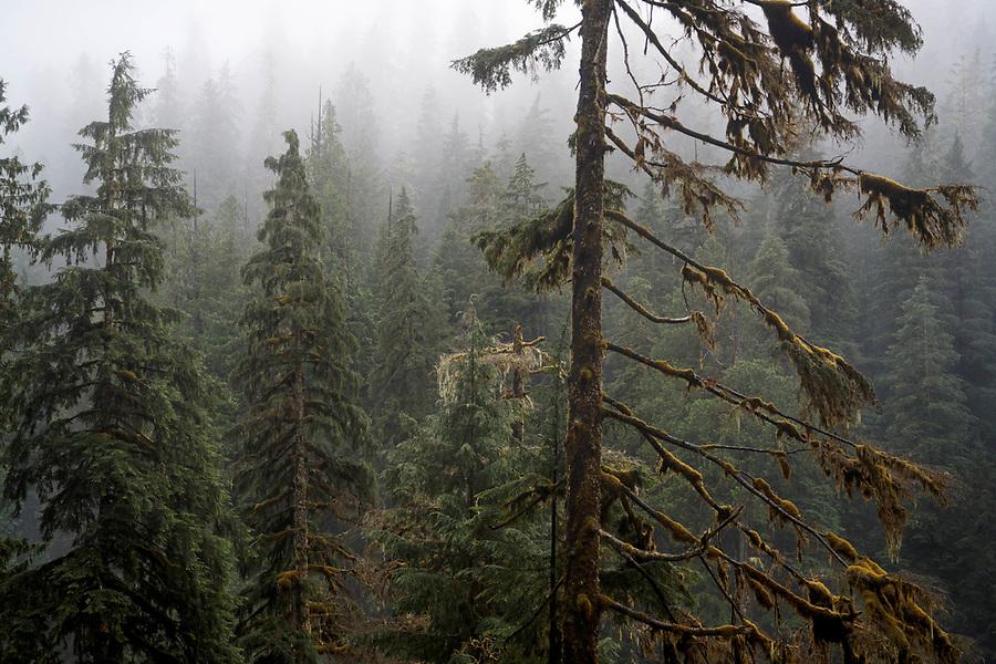Fog shrouded forest, Boulder River Trail, Boulder River Wilderness, Central Cascades, Washington, USA