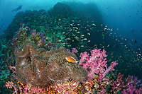 orange skunk clownfish, Amphiprion sandaracinos, in their host magnificent sea anemone, Heteractis magnifica, soft corals and diver silhouette at Richelieu Rock, Thailand, Indian Ocean